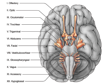 Figure 1. Proximity of the cranial nerve nuclei that may account for cross stimulation.